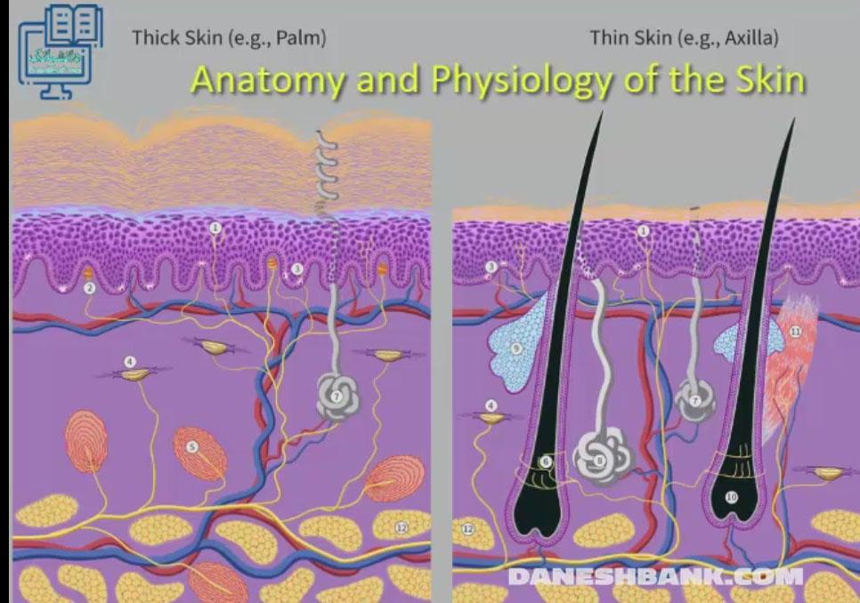ساختار و عملکرد پوست