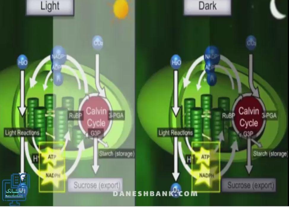 انیمیشن چرخه کالوین در گیاهان سی چهار، جزئیات کامل
