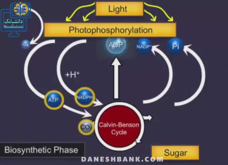 انیمیشن چرخه کالوین در گیاهان سی سه ، با جزیئات