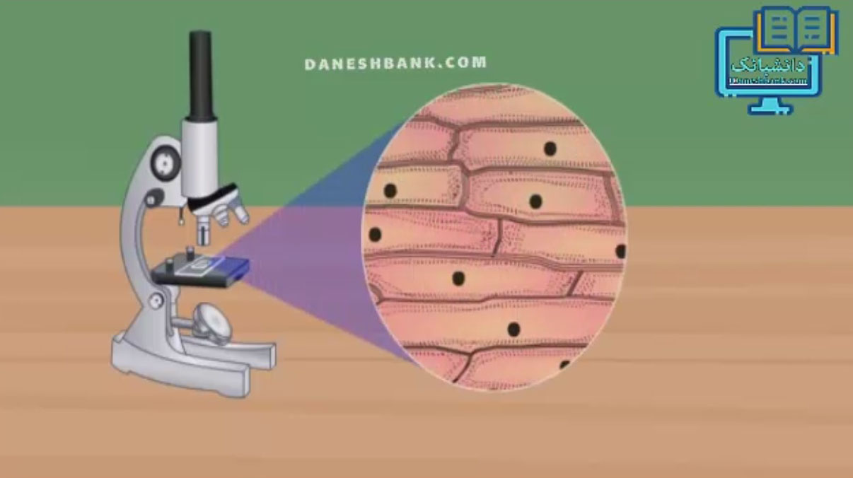 رنگ آمیزی و مشاهده میکروسکوپی بشره پیاز به صورت انیمیشن